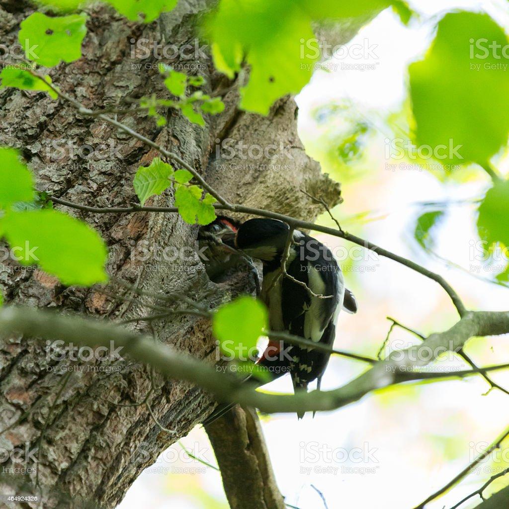 Buntspecht füttert stock photo