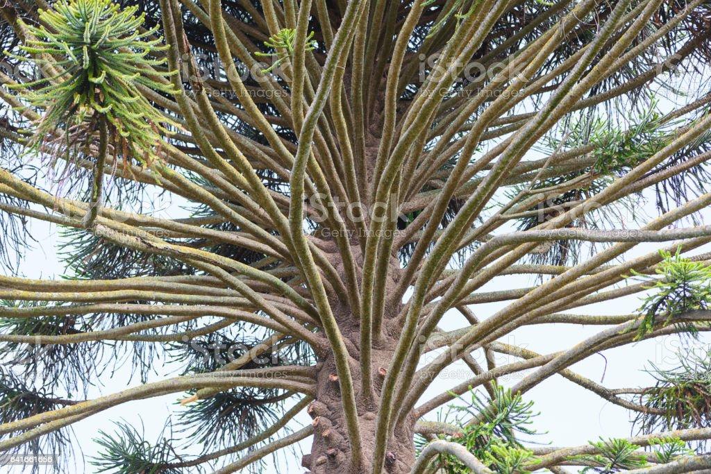 Bunya pine branches stock photo