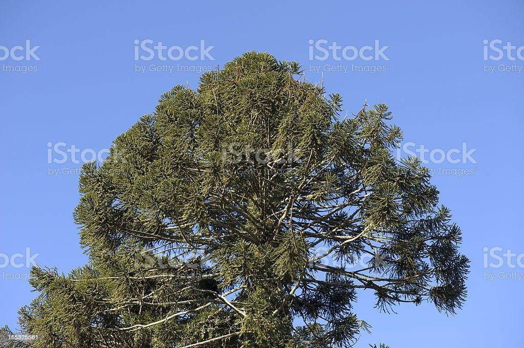 Bunya Pine crown stock photo