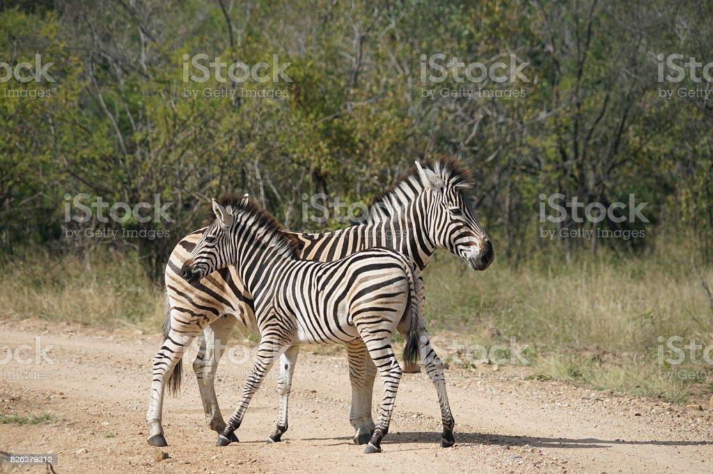 Burchell Zebra Kruger National Park stock photo