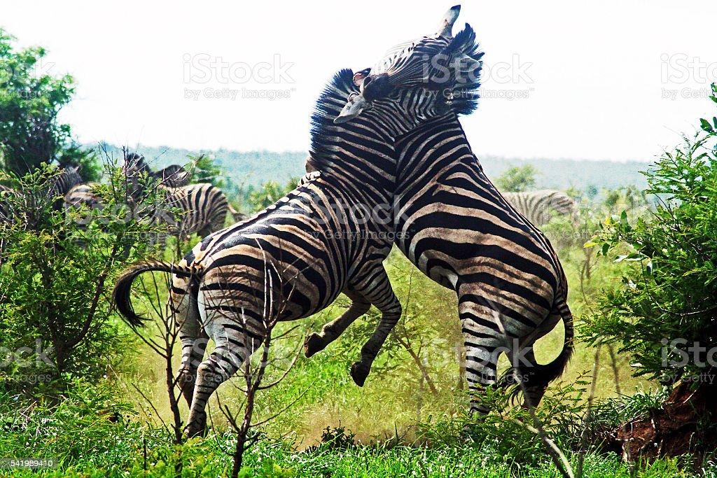 Burchell Zebras, fighting stock photo