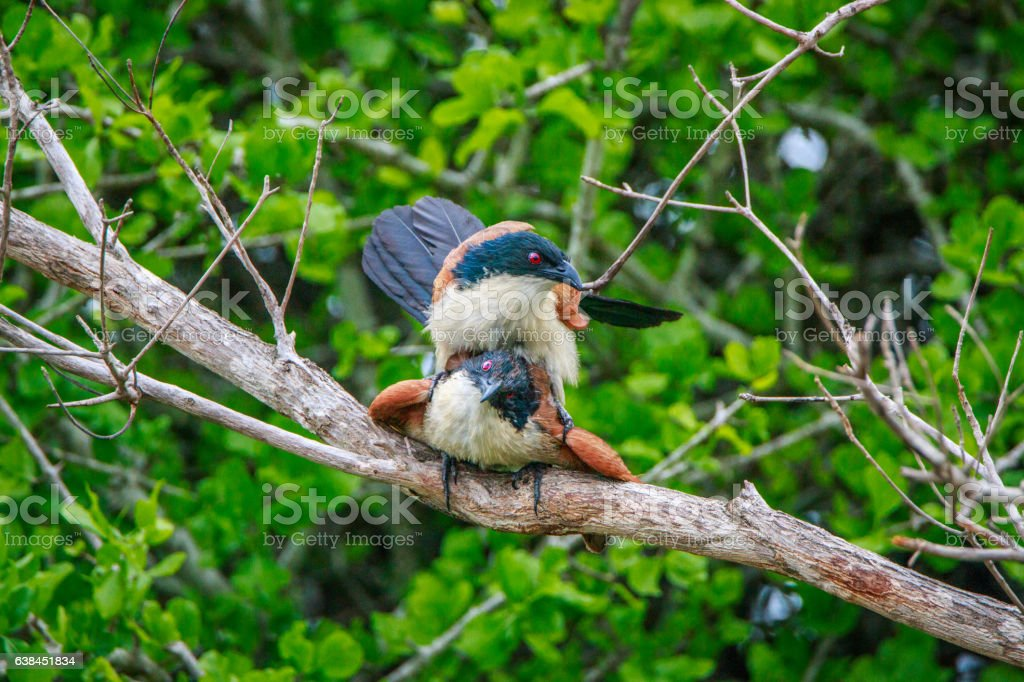Burchell's Coucal mating in a branch. stock photo