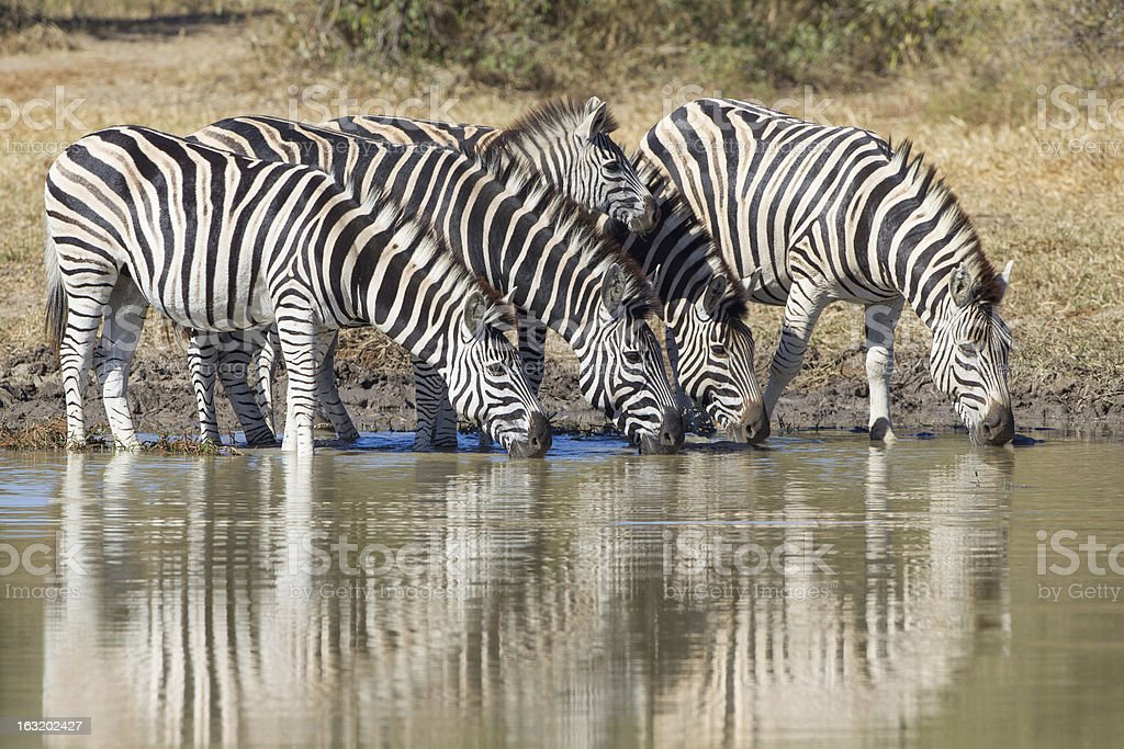 Burchell's or Plains Zebra drinking, South Africa stock photo