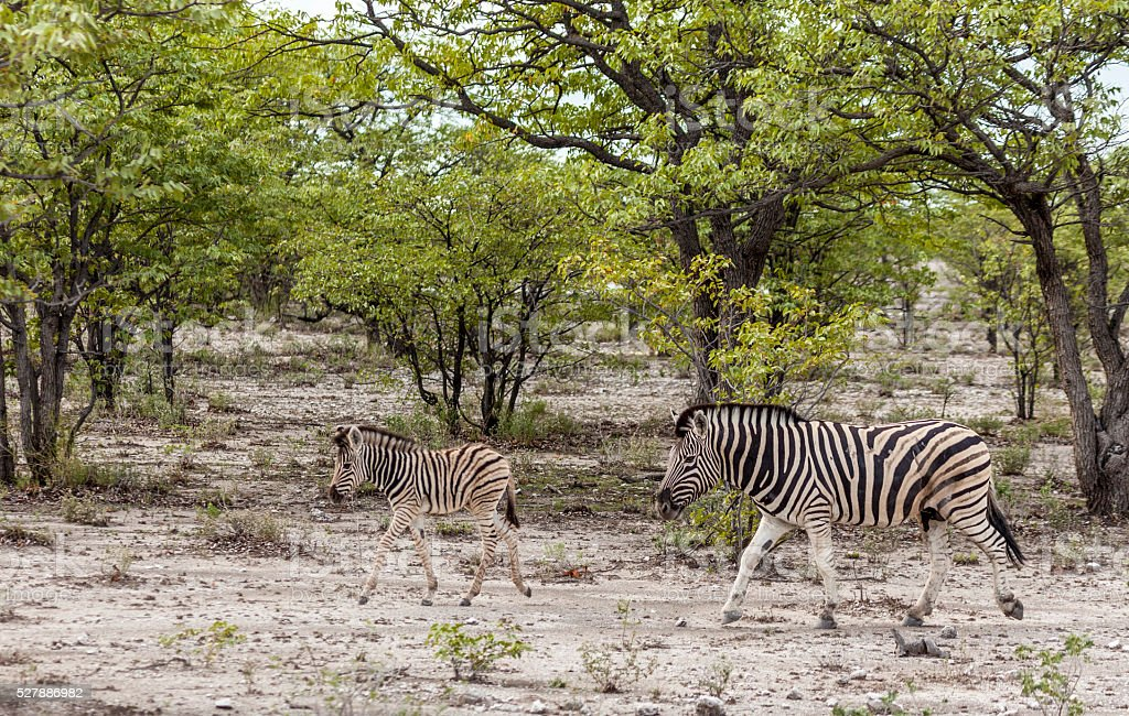 Burchell's Zebra and foal; Etosha NP, Namibia, Africa stock photo