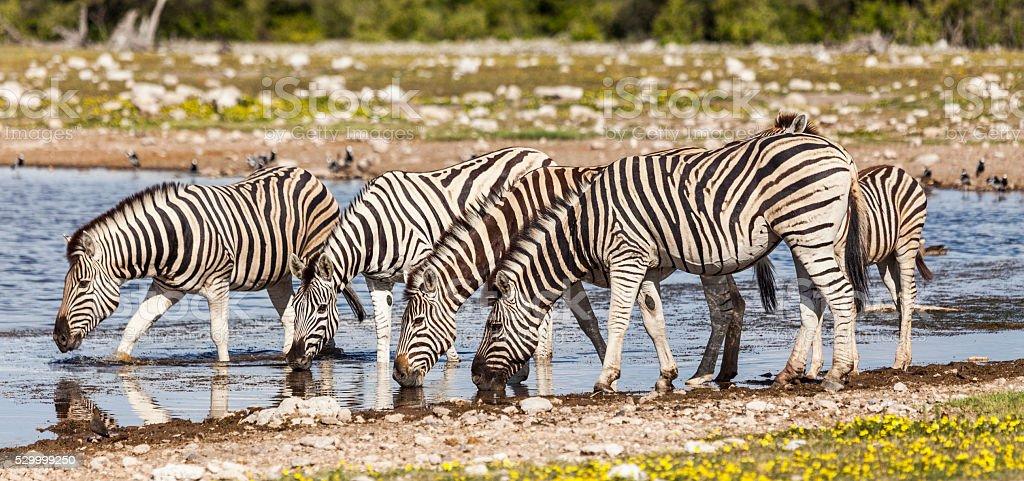 Burchell's Zebra drinking at waterhole; Etosha_NP, Namibia, Africa stock photo