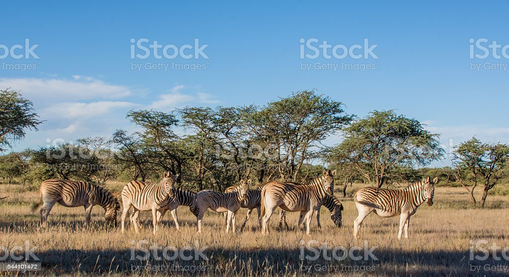 Burchell's Zebra Family Group stock photo
