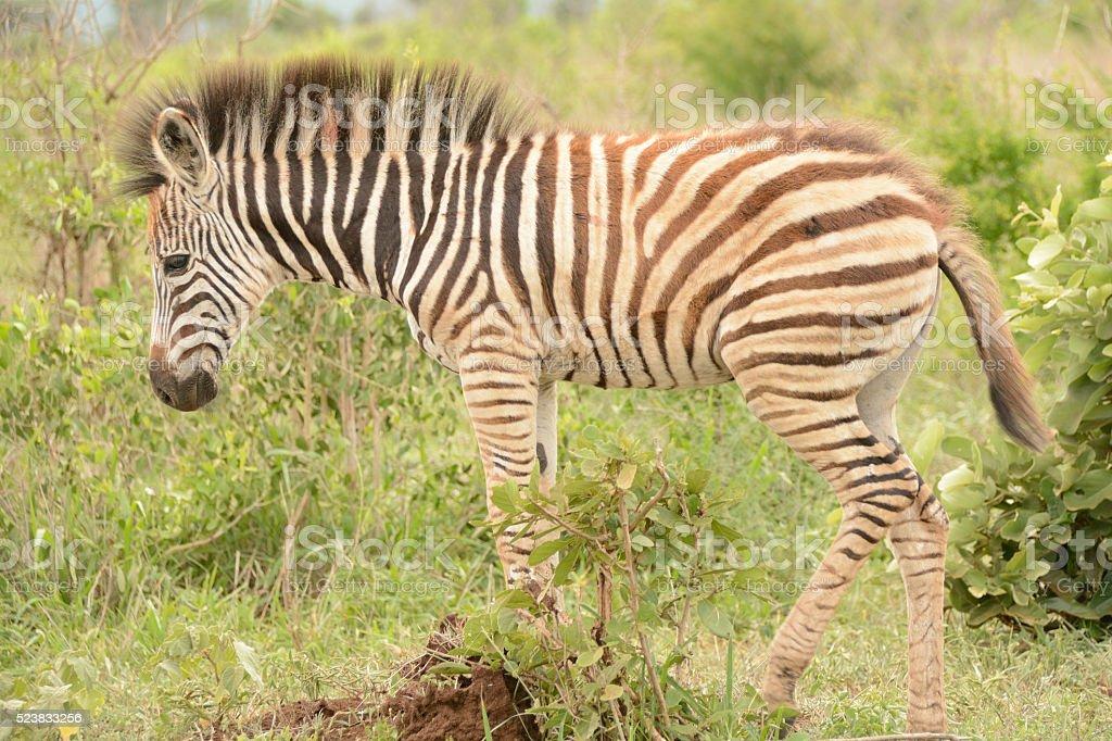 Burchell's zebra foal on its own stock photo