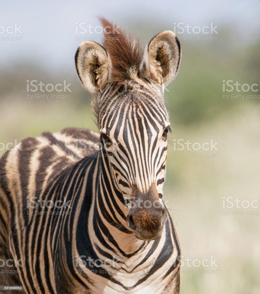 Burchell's Zebra Foal stock photo