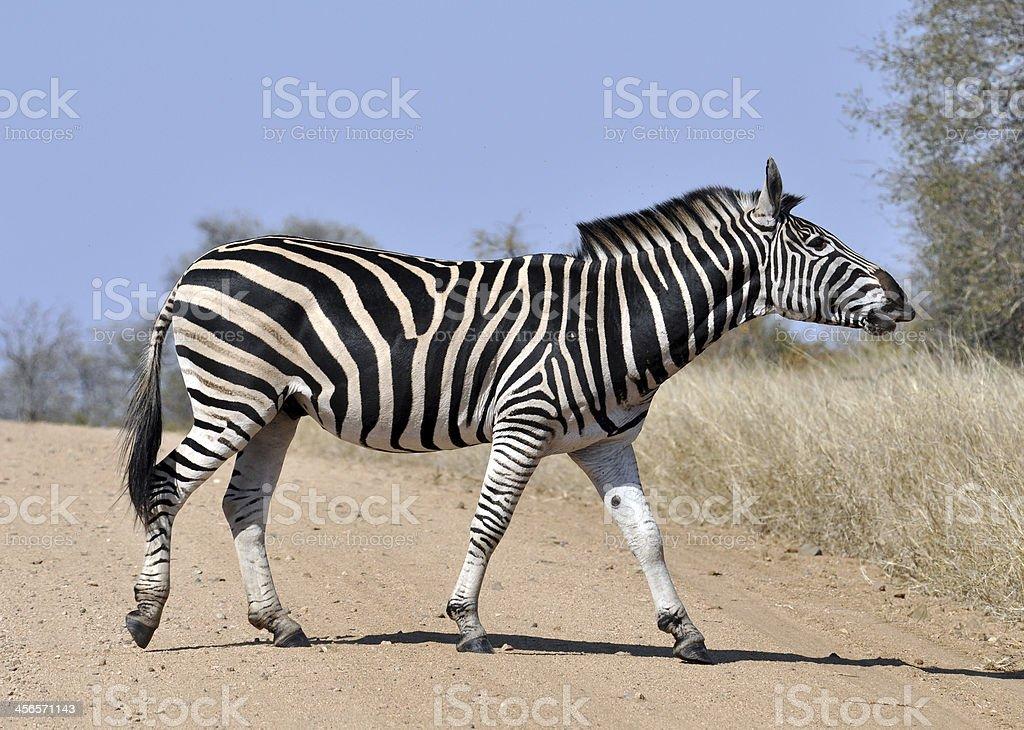 Burchell's Zebra in Africa stock photo
