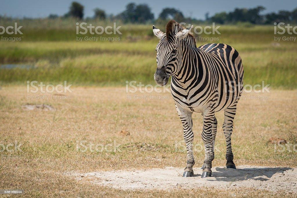 Burchell's zebra on grassy plain facing camera stock photo