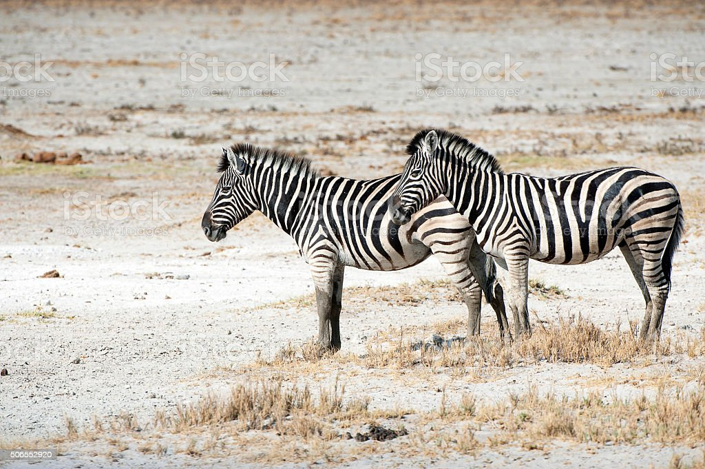Burchells Zebra pair, Etosha National Park, Namibia, Africa stock photo
