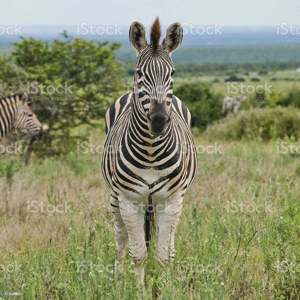 Burchell's Zebra royalty-free stock photo