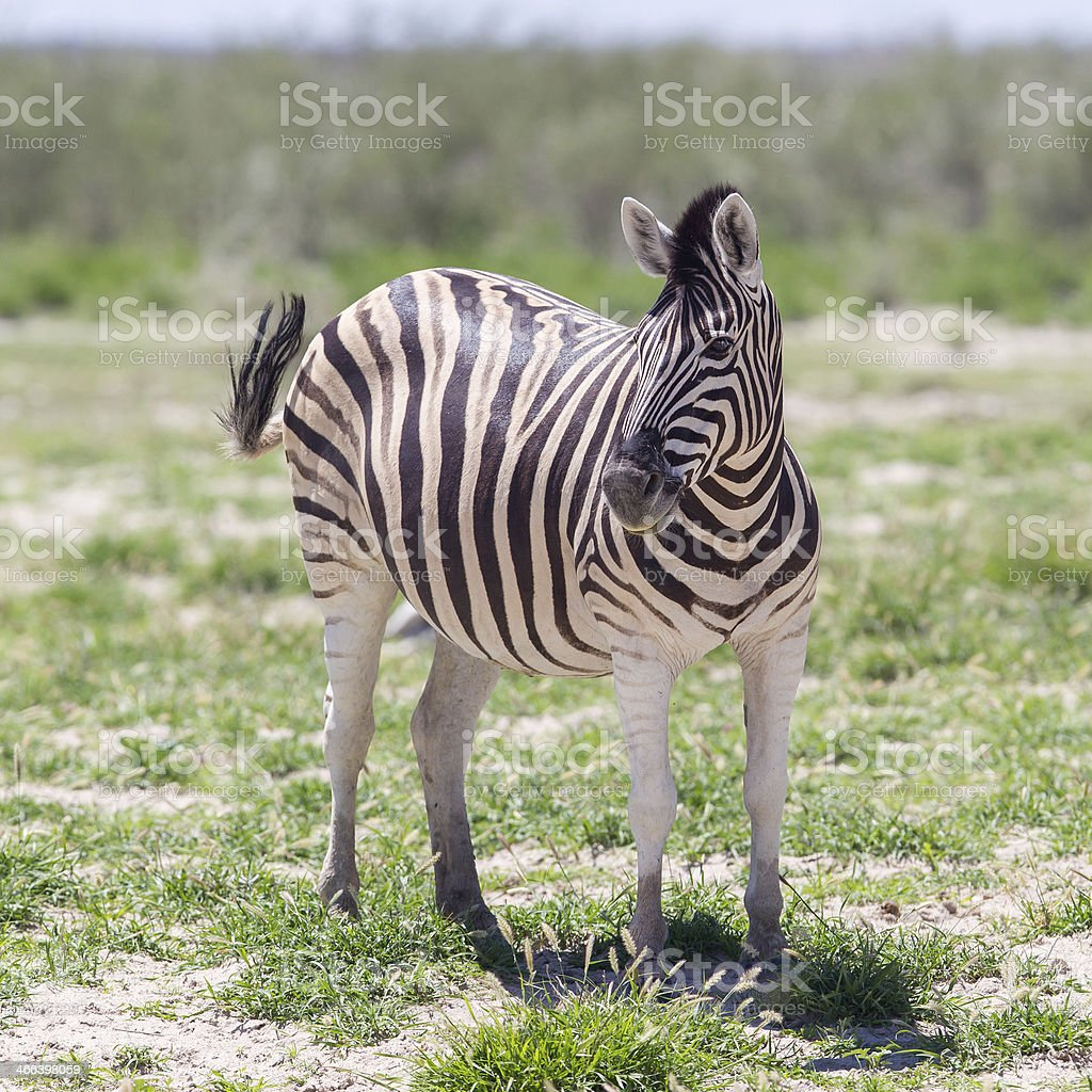 Burchells zebra (Equus Burchelli) stock photo