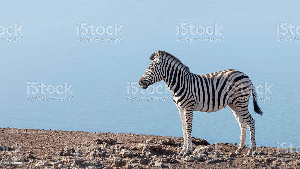 Burchell's Zebra standing against an Etosha water-hole, Namibia, Africa stock photo