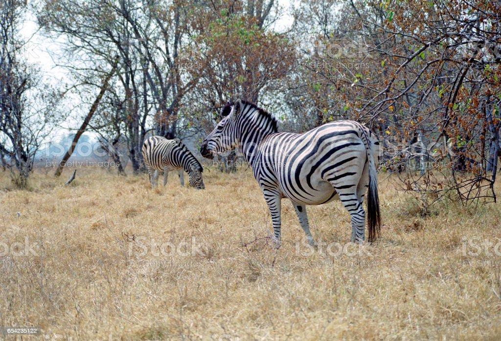 Burchell's zebras in the bushes, Botswana, Africa stock photo