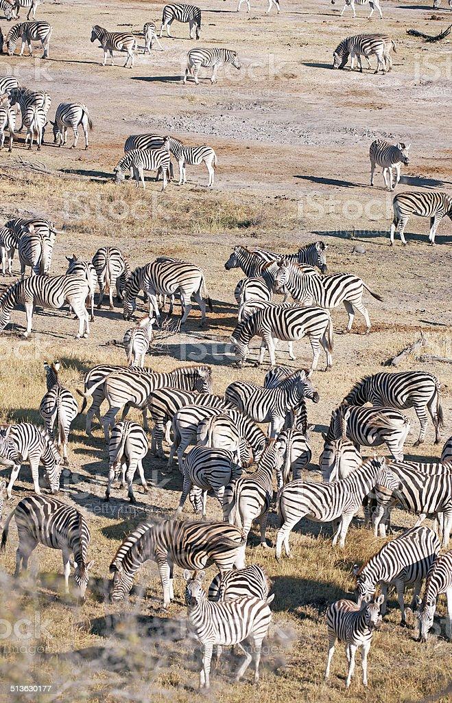 Burchels Zebra gathering stock photo