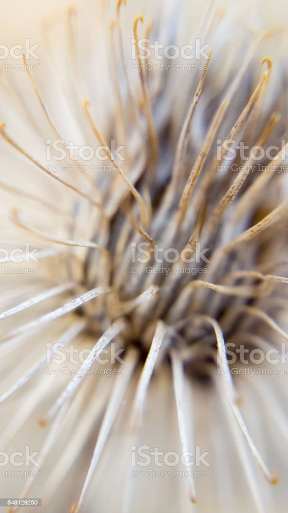 burdock / Arctium - extreme close up of dry seed capsula stock photo