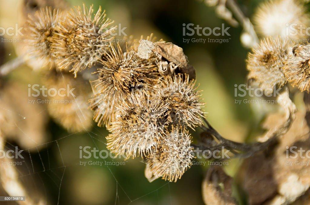 Burdock seed pods stock photo