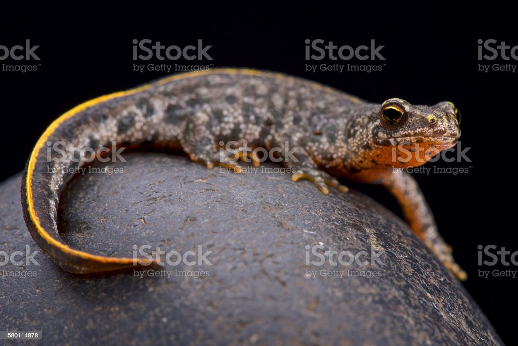 Buresch's crested newt (Triturus ivanbureschi) stock photo