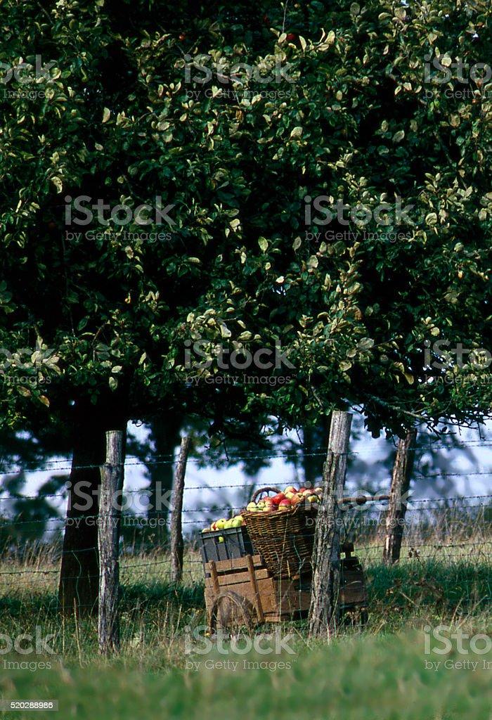 Burgundy apple orchard stock photo