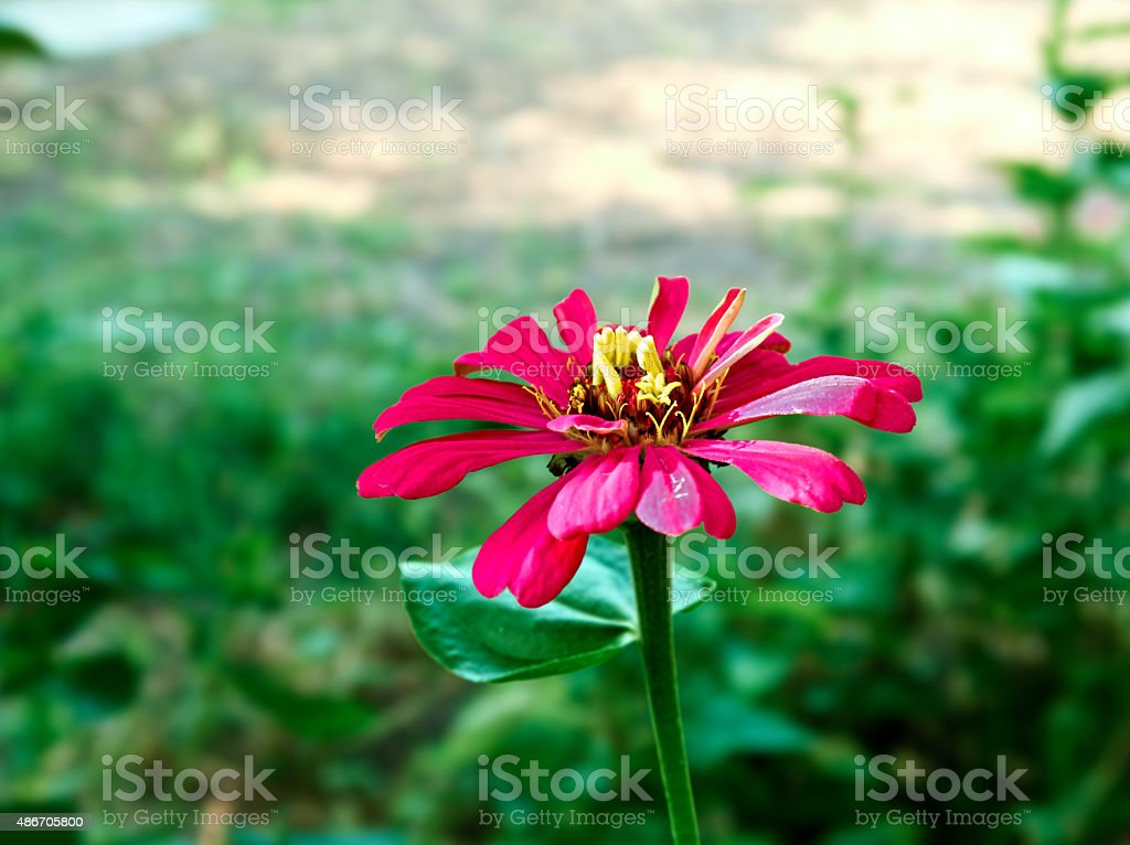 burgundy flower royalty-free stock photo