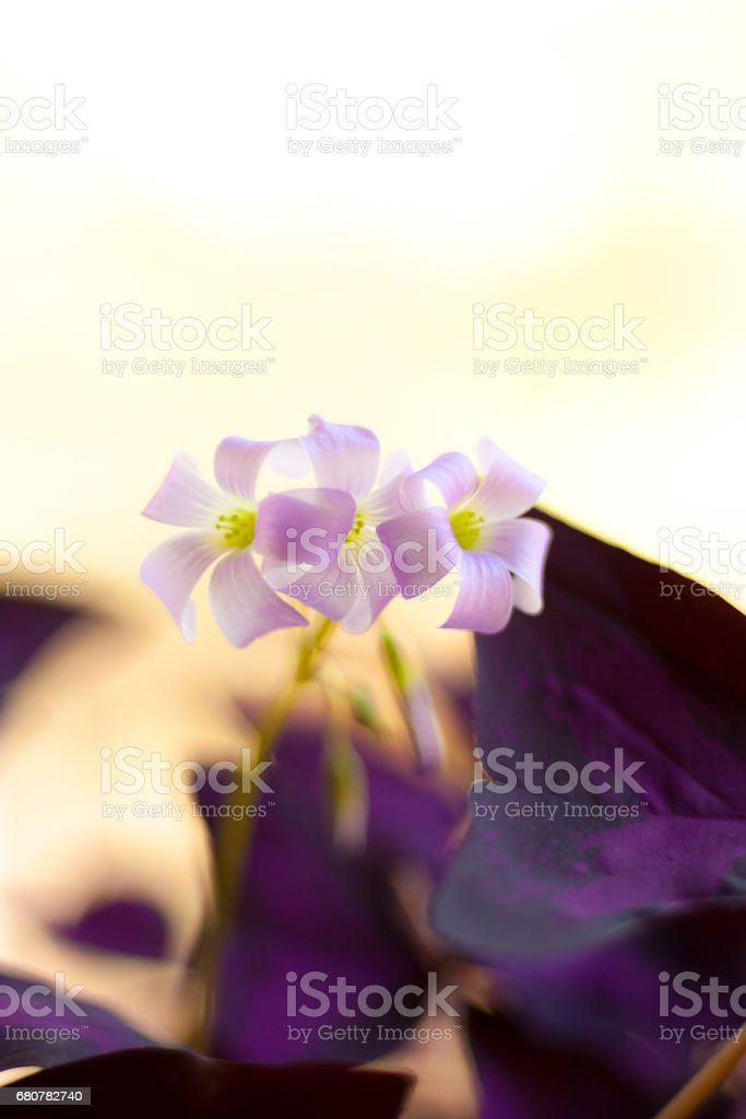 Burgundy Flowering Shamrock stock photo