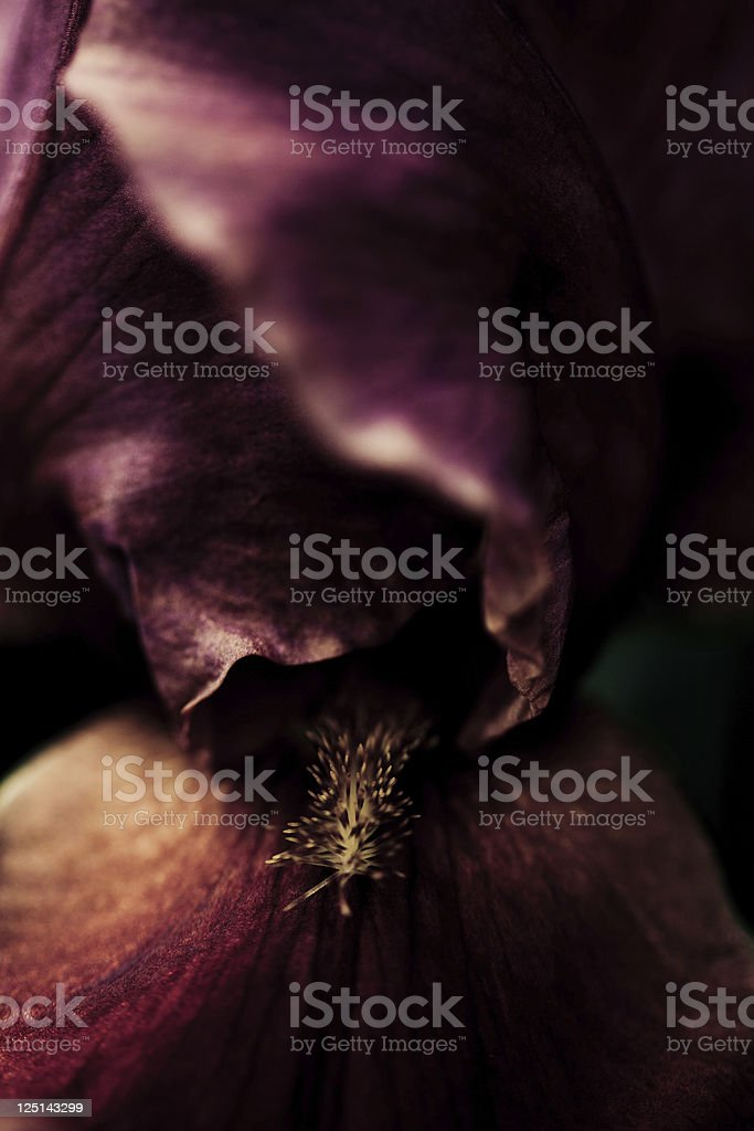 Burgundy Iris stock photo