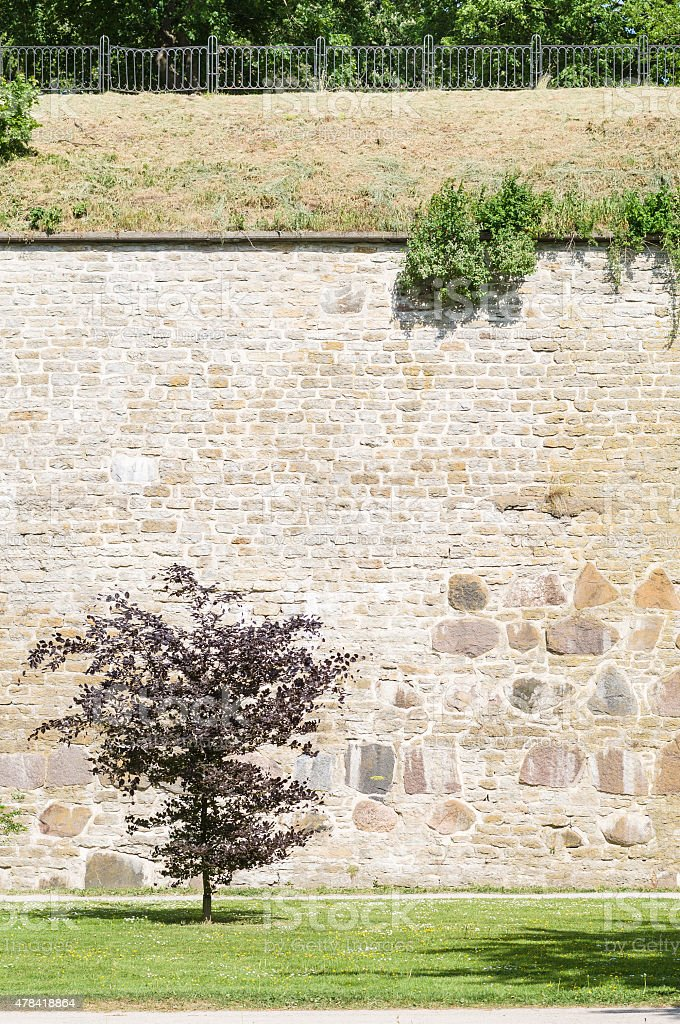 Burgundy leaf tree against medieval limestone wall in sunny park stock photo