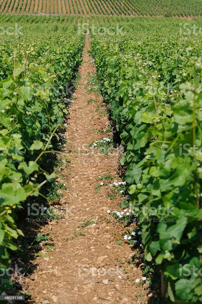 burgundy stock photo