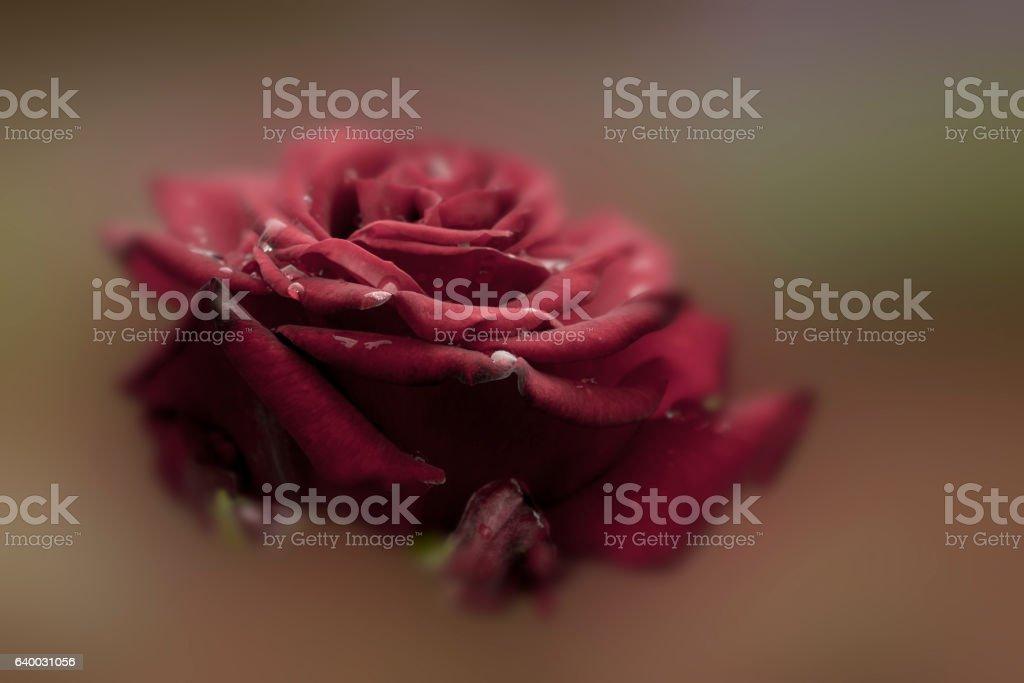 burgundy rose, close-up stock photo