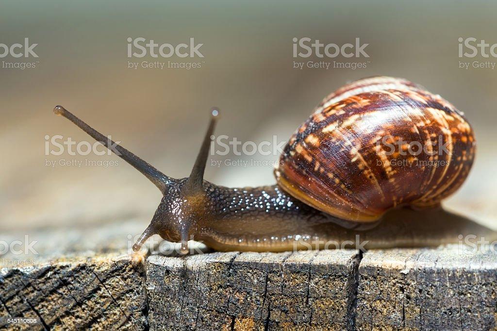 Burgundy snail aka Helix pomatia stock photo