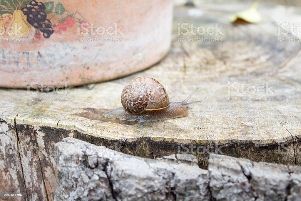 Burgundy snail catch the stump stock photo