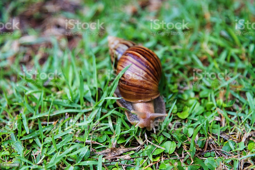 Burgundy snail crawling on green grass stock photo