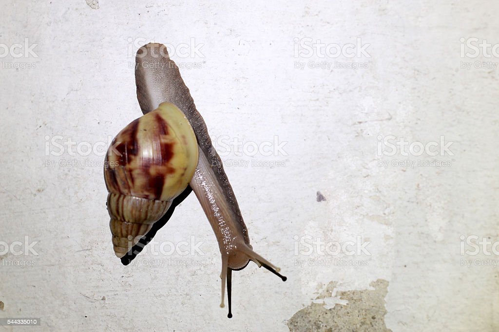 Burgundy snail  escape the rain in night time stock photo