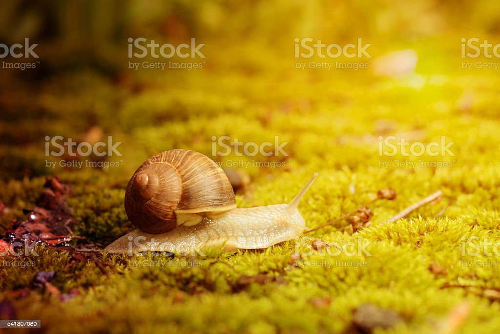 Burgundy snail (Helix pomatia) on the moss under bright autmn stock photo