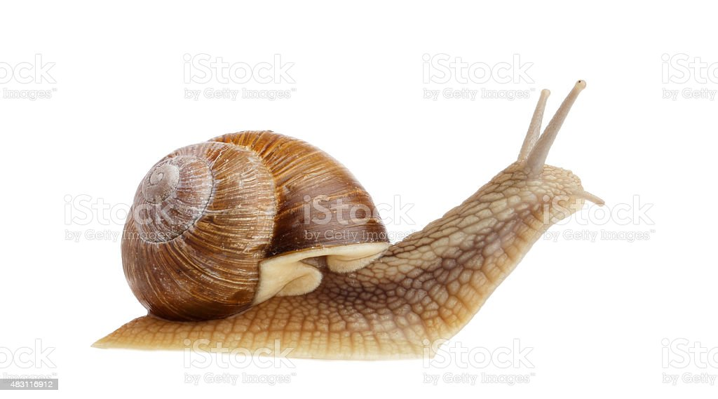 Burgundy snail (Helix pomatia) stock photo