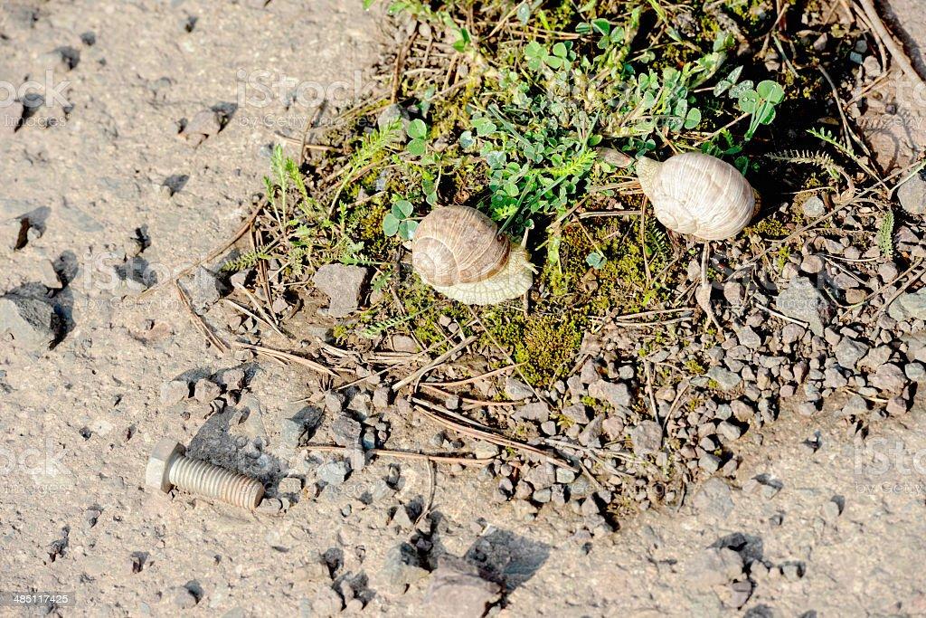 Burgundy snail (Helix pomatia) stock photo