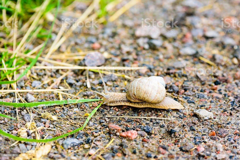 Burgundy snail stock photo