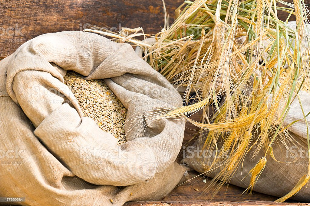 Burlap sack with barley seeds stock photo