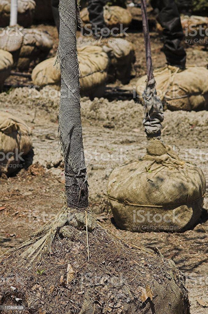 burlap trees royalty-free stock photo