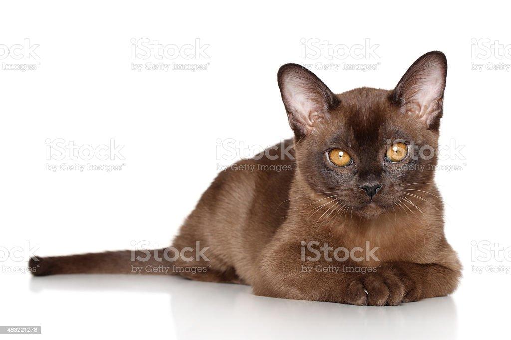 Burma kitten lying stock photo