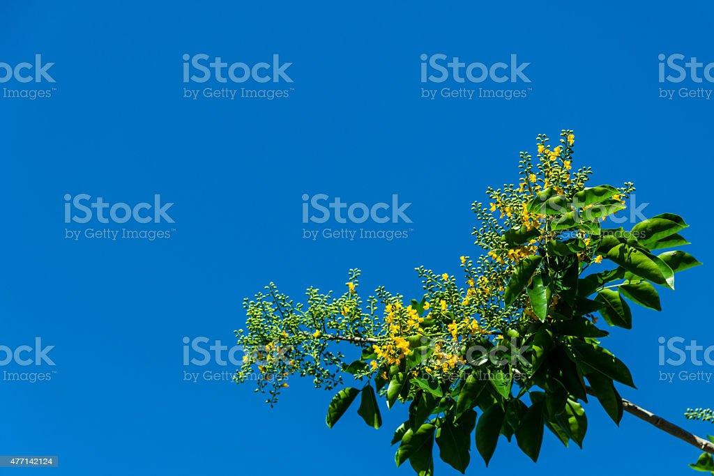 Burma Padauk stock photo