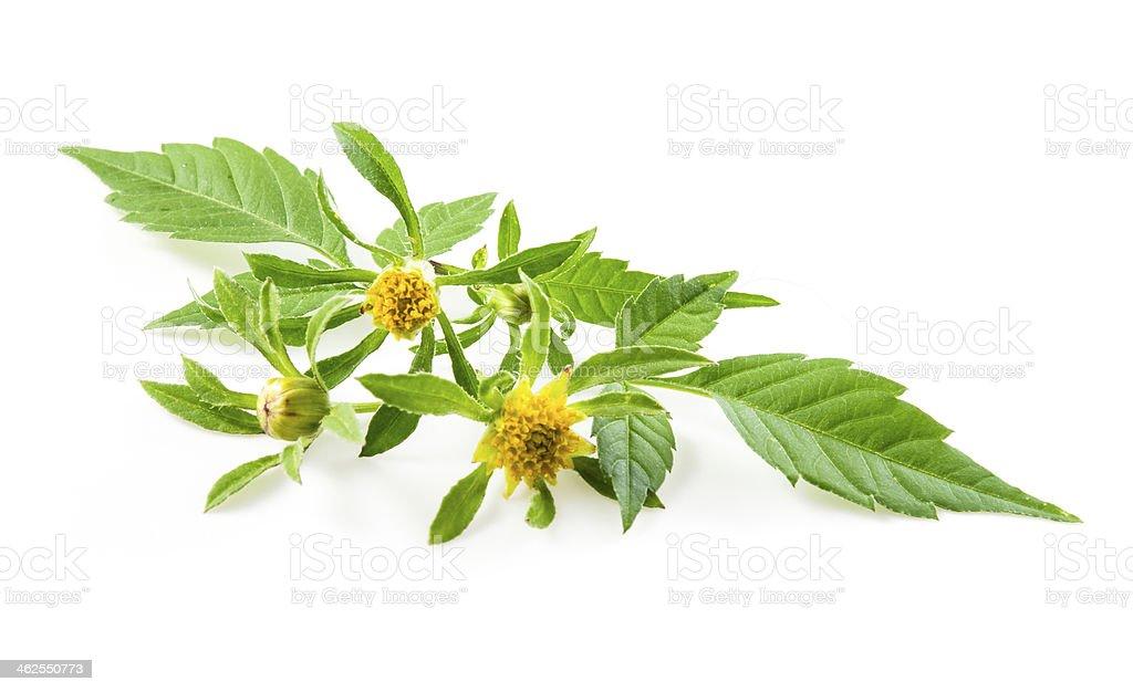 Bur-marigold - Bidens cernua isolated on white royalty-free stock photo