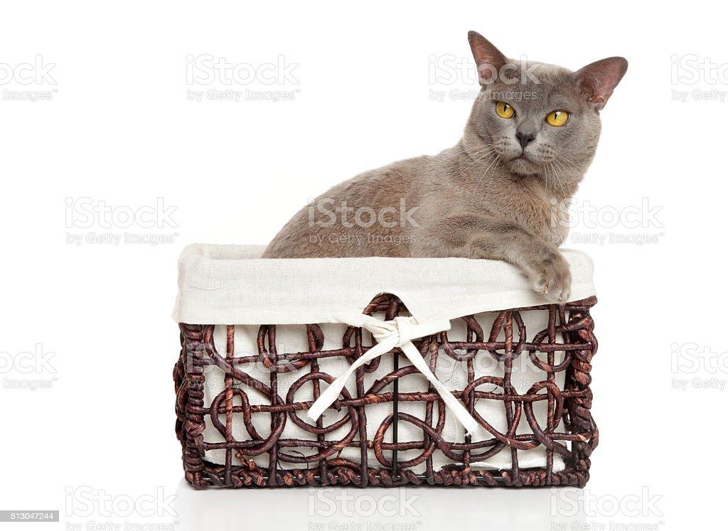 Burmese Burma cat in basket stock photo