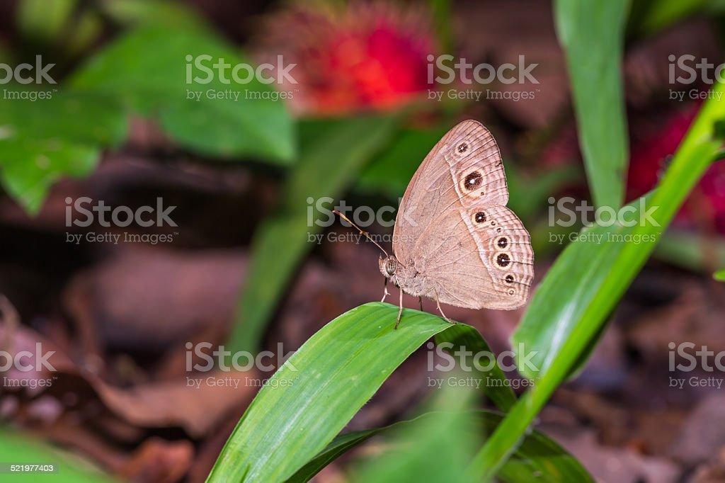 Burmese Bushbrown butterfly stock photo