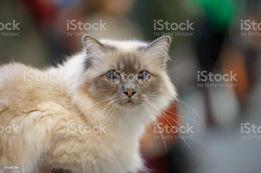 Birman cat stock photo