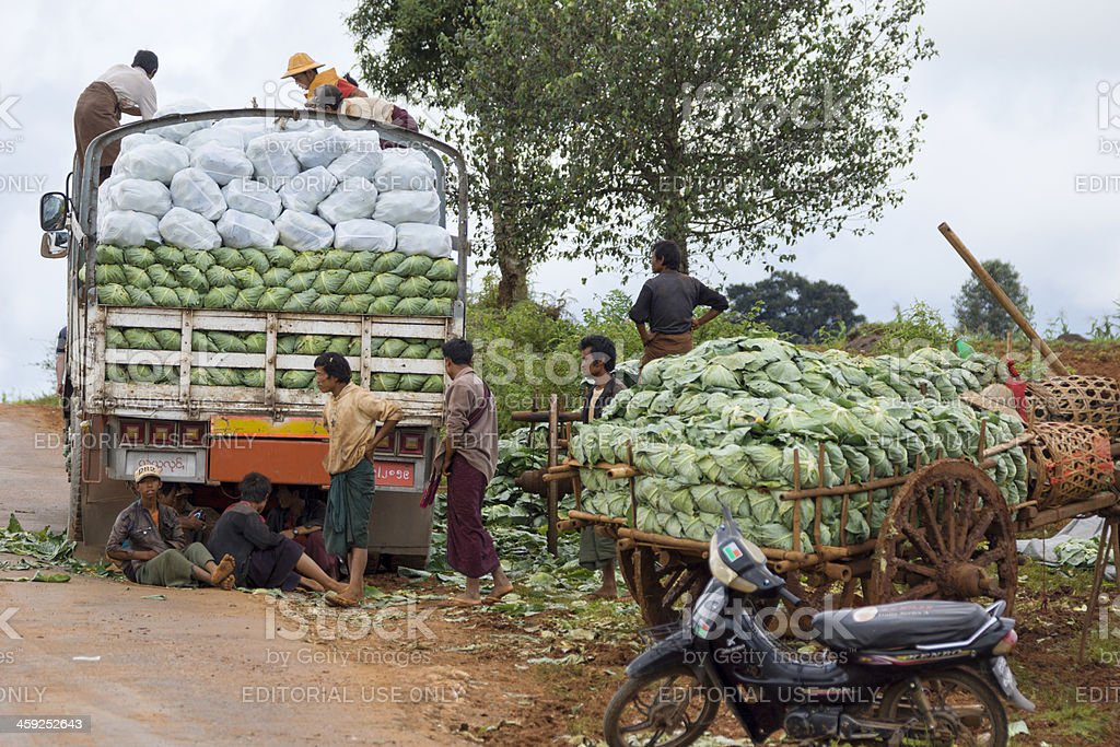 Burmese farmers harvesting cabbage. (Myanmar, Kalaw) royalty-free stock photo