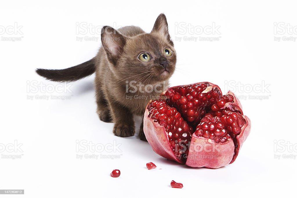 Burmese kitten on white background royalty-free stock photo