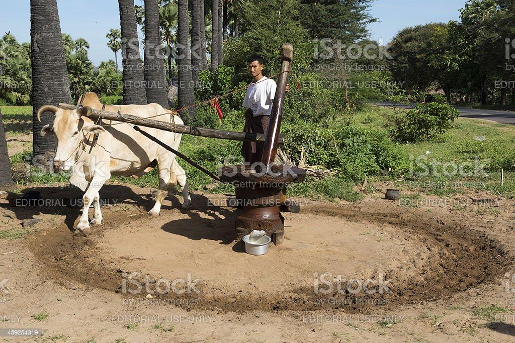 Burmese man pulverizing palm oil seeds royalty-free stock photo