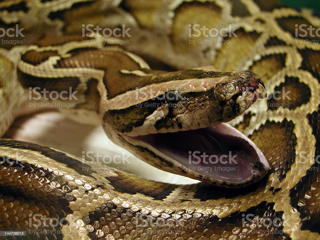 Burmese Python coiled with open mouth royalty-free stock photo